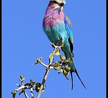 Lilac breasted roller by almaalice