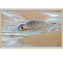 Seal pup Photographic Print