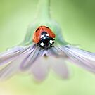 Little ladybird by Mandy Disher
