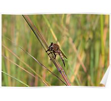 Bearded Robber Fly - Little Miami White Water Poster