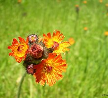 Orange Hawkweed by Hannah Walsh