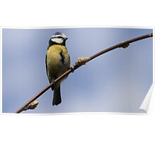 The Blue Tit Poster