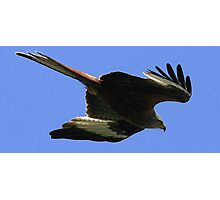 The Red Kite Photographic Print