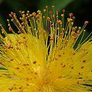 Sungold Fan flower by DIANE  FIFIELD