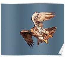 120608 Prairie Falcon Poster