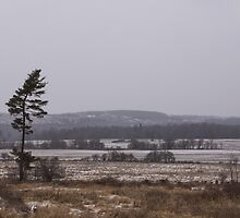 Canadian North - Lone Pine, Fields, Hills and Fresh Snow by Georgia Mizuleva