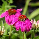 Echinacea II by PhotosByHealy