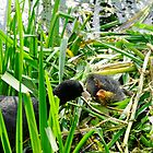 Adult Coot Feeding a Young Chick by Rod Johnson