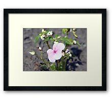 teignmouth flower Framed Print