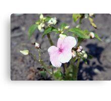teignmouth flower Canvas Print