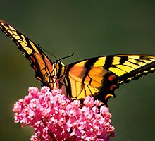 Giant Swallowtail Butterfly by John Absher