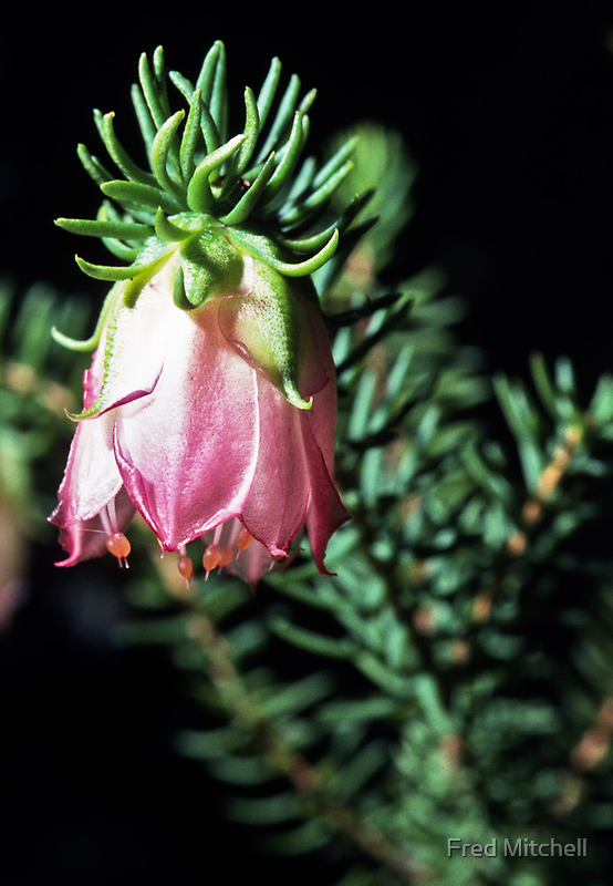 198208300014 Pink white Darwinia bell on Bluff Knoll Track STirling Ranges by Fred Mitchell