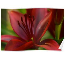 Asiatic Monte Negro Lily Poster