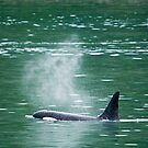 Orca Whale 1  by Tracy Riddell