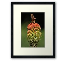 Red Hot Poker - (Kniphofia). Framed Print