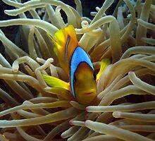 Clown Fish by Steve  Elliott