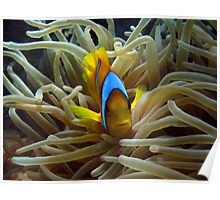 Clown Fish Poster