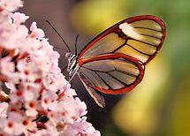 Glasswing Butterfly by Jo Nijenhuis