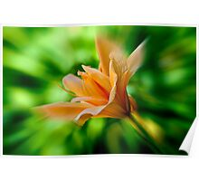 Peach Colored Flower Poster