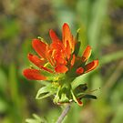 Indian Paintbrush; Painted Cup- Catilleja coccinea by Tracy Faught