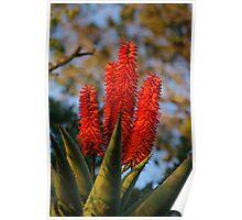 Aloe Detail Poster