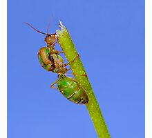 Study of Green Ant #3 Photographic Print