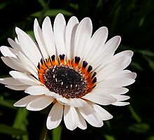 White Gazania by Susie Peek