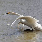 Bewick walks on water by Darren Bailey LRPS