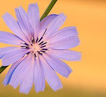 chicory gold by jimHphoto