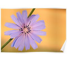 chicory gold Poster