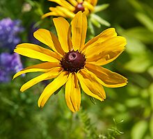 Black-eyed Susan by Mike Oxley