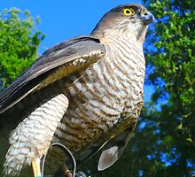 Sparrowhawk waitng for chase by kellyme
