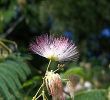 Last Mimosa Standing by WalnutHill