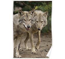 Rescued Timber Wolves 2 Poster