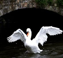 Brugge Swan by Mike Stone