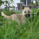 Dixie in the tall grass by pallyduck