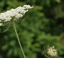 Queen Anne's Lace by JRobinWhitley