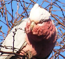 Cheeky Galah. by Esther's Art and Photography