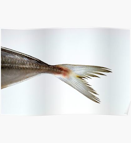 macro shot of a fish tail on a white background Poster