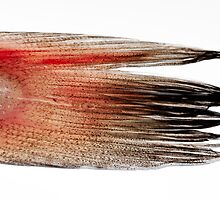 macro shot of a fish tail on a white background by Josep M Penalver