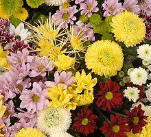 Chrysanthemums, often called 'mums'. by Josep M Penalver