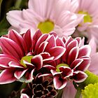 Chrysanthemums, often called 'mums'. by Josep M Penalver