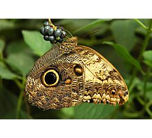 Owl Butterfly On Some Berries - (Caligo memnon) Photographic Print