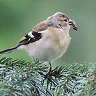 The Chaffinch (Fringilla coelebs) female by DutchLumix