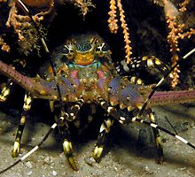 Painted Lobster ~ Halifax Park by JimDodd
