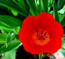 Vibrant Poppy by Angela Bashline