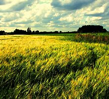 Barley Field by charlylou