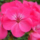 Dreamily Soft and Pink...... by Sandra Cockayne