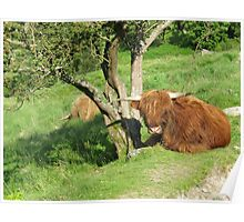 Shaggy cow story,close to Little Langdale Poster