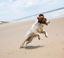 Springer Spaniel by Ian Middleton